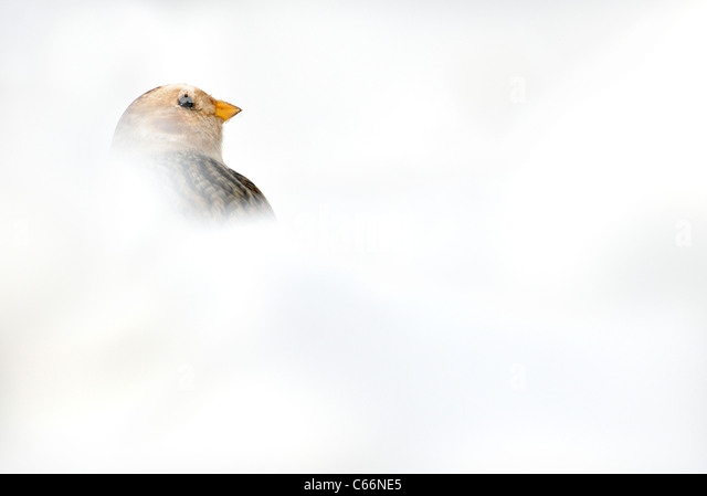 SNOW BUNTING Plectrophenax nivalis  Profile of an adult partially concealed by snow Cairngorm Mountains, Scotland, - Stock-Bilder