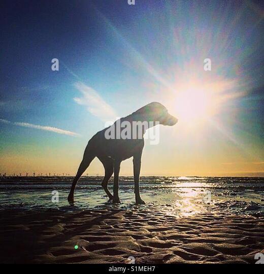 Beautiful Weimaraner, grey ghost, gun dog, puppy, dog, scout the dog, man's best friend, sun, sunny, sunshine, - Stock Image