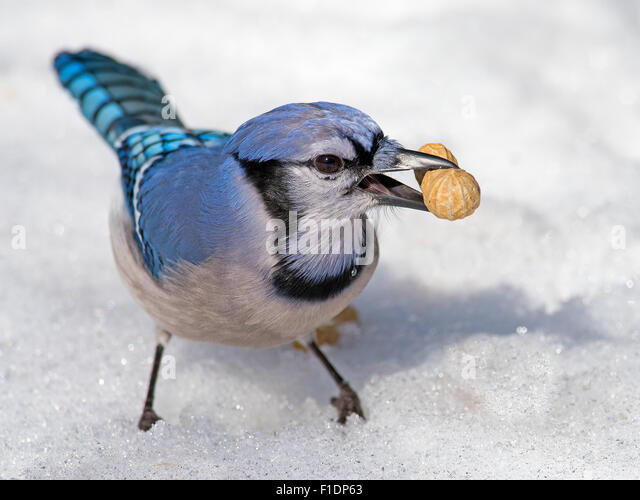 Blue Jay in the Snow with Peanut - Stock Image