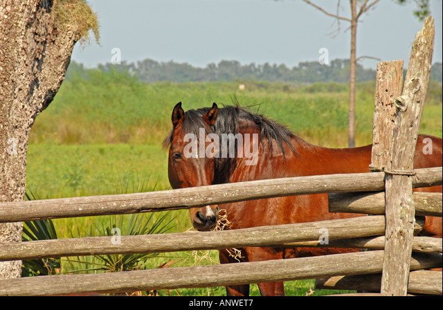 Florida Kissimmee State Park   cow camp horse in corral - Stock Image