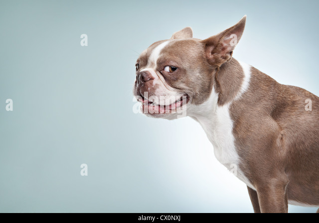 Side portrait of Boston terrier looking to camera in studio - Stock Image