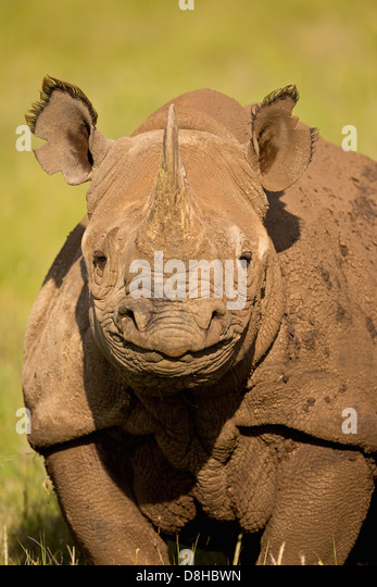 Portrait of Black Rhinoceros.(Diceros bicornis)Kenya - Stock Image