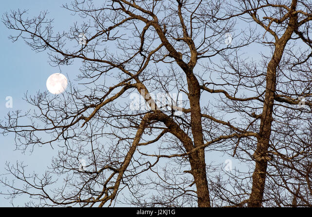 Moon through the Trees - Blue Ridge Parkway, near Asheville, North Carolina, USA - Stock Image
