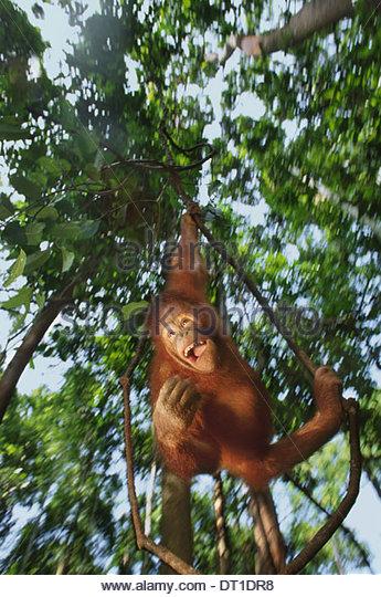 Sepilok Reserve Sabah Borneo Orangutan Pongo pygmaeus Sepilok Reserve - Stock Image