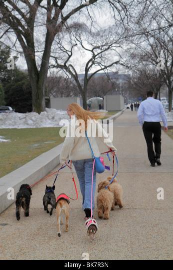 Washington DC 7th Street Northwest woman dog walker job animal dog pet leash dog coat obedience sidewalk follow - Stock Image