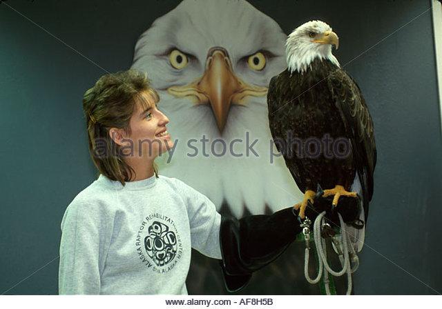 Alaska Stika Alaska Raptor Rehabilitation Center handler with Buddy the Bald Eagle illegally raised by humans - Stock Image