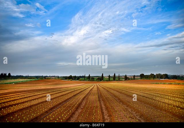 lettuce field in the Sharon region Israel - Stock Image