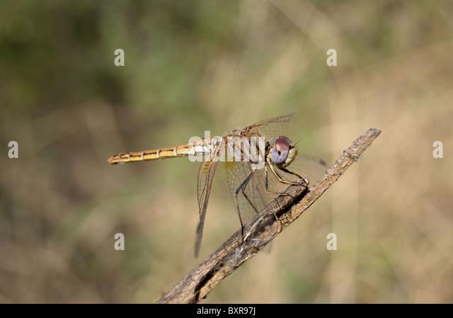 Crimson marsh glider, Scientific name: Trithemis aurora - Stock Image