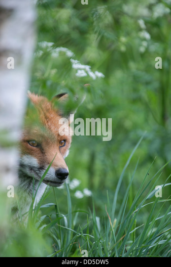 Fox: Vulpes vulpes. Captive - Stock Image