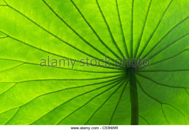 Nelumbo nucifera . Lotus leaf pattern - Stock Image