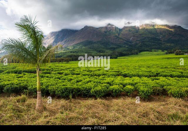 Tea estate on Mount Mulanje, Malawi, Africa - Stock Image
