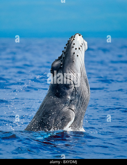 Breaching Humpback Whale, Megaptera novaeangliae, Hawaii, USA - Stock Image
