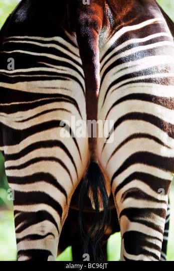 Okapi Herbivorious mammal with unusual markings The Flagship species of the Ituri Rainforest Democratic Republic - Stock Image