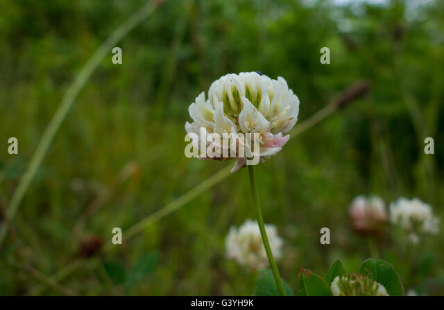 White clover, Trifolium repens, in a field in Germany. - Stock Image