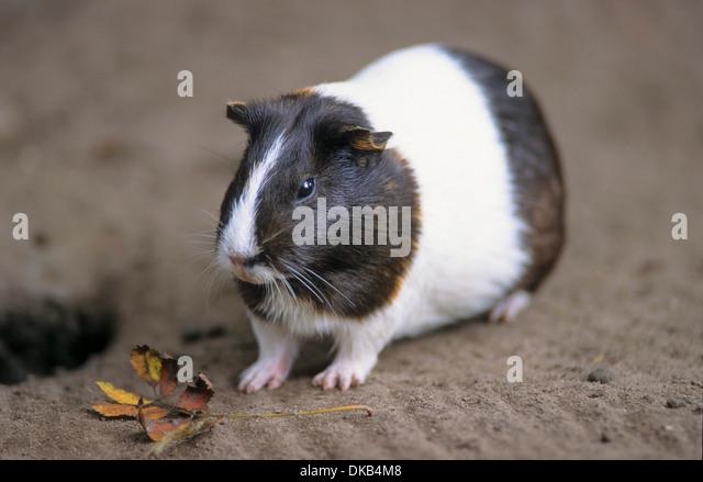 guinea pig (Cavia porcellus), Cavy, Hausmeerschweinchen (Cavia porcellus) - Stock Image