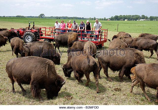 Indiana Valparaiso Wheeler Broken Wagon Bison group red tractor herd ranch farm bovine grazing animal brown shaggy - Stock Image