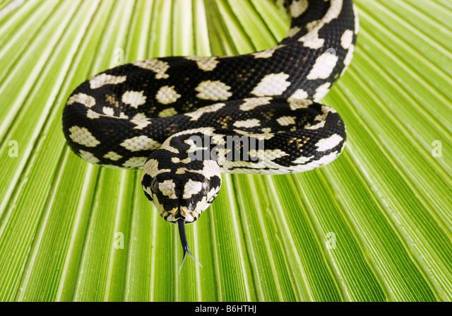 Jungle Carpet Pythons Morelia spilota cheynei Non venomous python species found in rainforests areas Australia - Stock-Bilder
