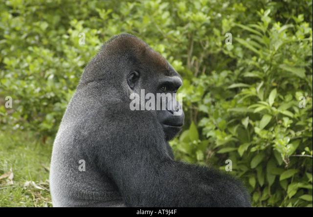 Mountain gorilla - Stock Image