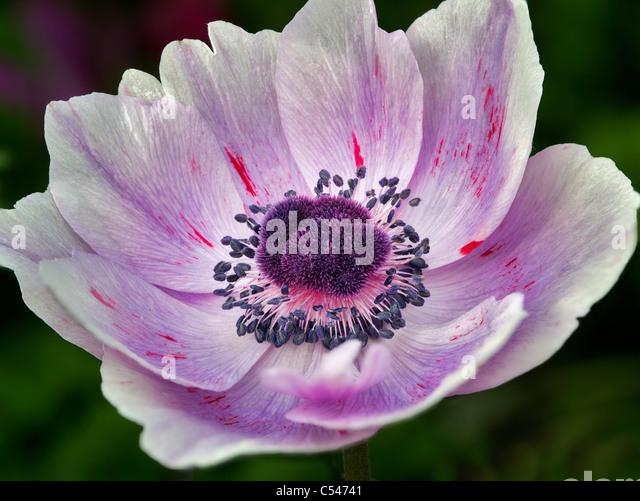Close up of purple Anemone. - Stock Image