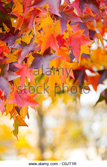 Leaves on tree in autumn. - Stock Image