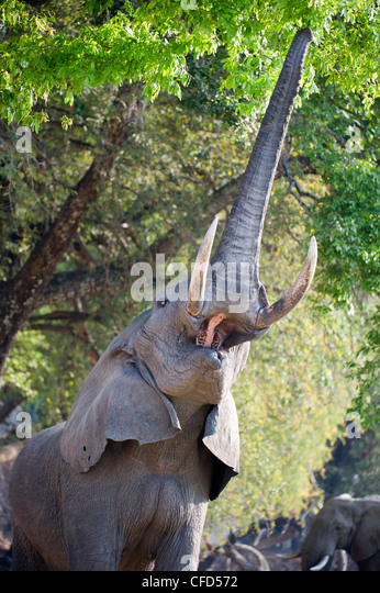 Adult bull African Elephant feeding on foliage on the banks of the Luangwa River. South Luangwa National Park, Zambia - Stock-Bilder