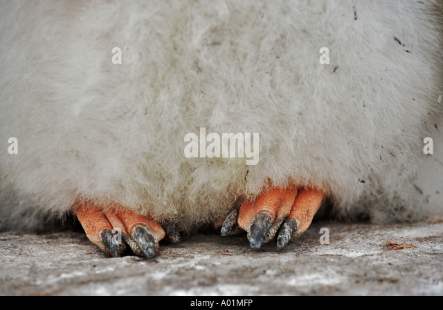 Gentoo Penguin chick Pygoscelis papua Close up of feet Antarctica - Stock Image