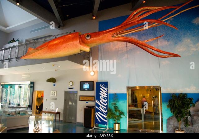 Bermuda Hamilton Bermuda Underwater Exploration Institute giant squid in lobby - Stock Image