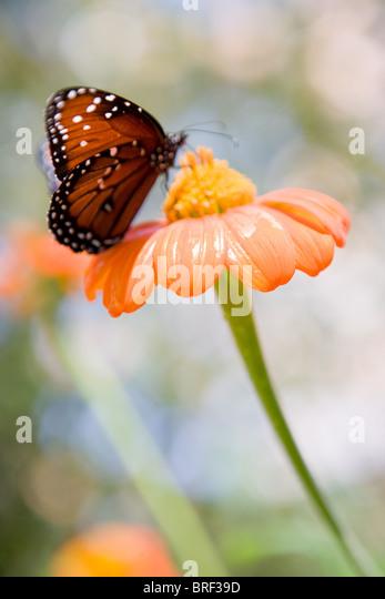 butterfly landing on an orange zinnia flower,  spotted monarch - Stock Image