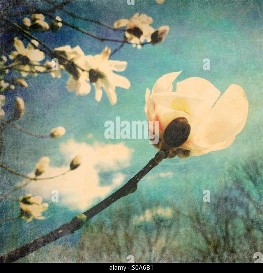 White Flowering Tree - Stock Image