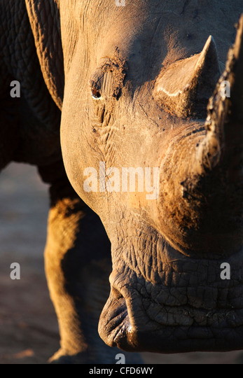 White rhino (Ceratotherium simum), close up with eye, Hlane Royal National Park game reserve, Swaziland, Africa - Stock-Bilder