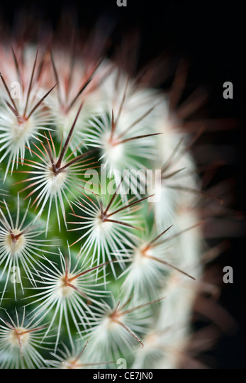 Pincushion cactus, Mammillaria microhelia, Close up of green succulent plant with sharp spikes against a black background. - Stock Image
