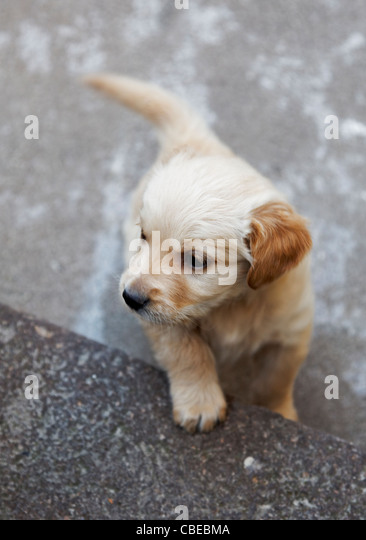 Golden retriever Labrador puppy exploring his territory in a sunken courtyard, vertical portrait with margins and - Stock Image