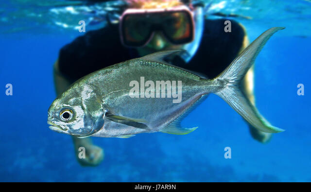 Pompano fish stock photos pompano fish stock images alamy for Picture of pompano fish