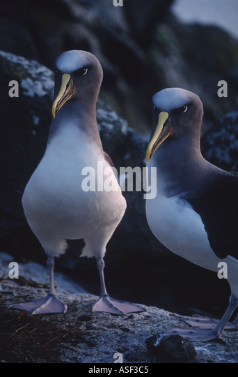 Pacific albatross mollymawk Northern Buller s albatross Pair at sunset Middle Sister Island Chatham Islands New - Stock Image