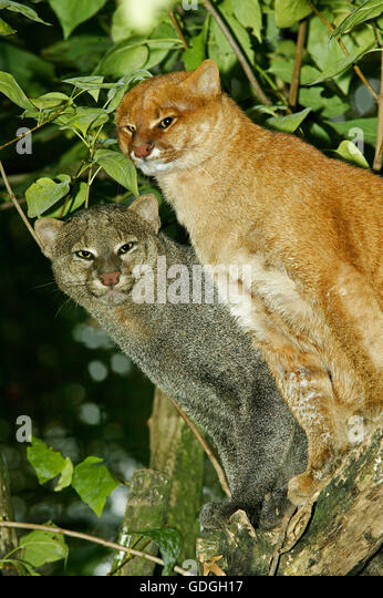 Jaguarundi, herpailurus yaguarondi, Adults on Branch - Stock Image