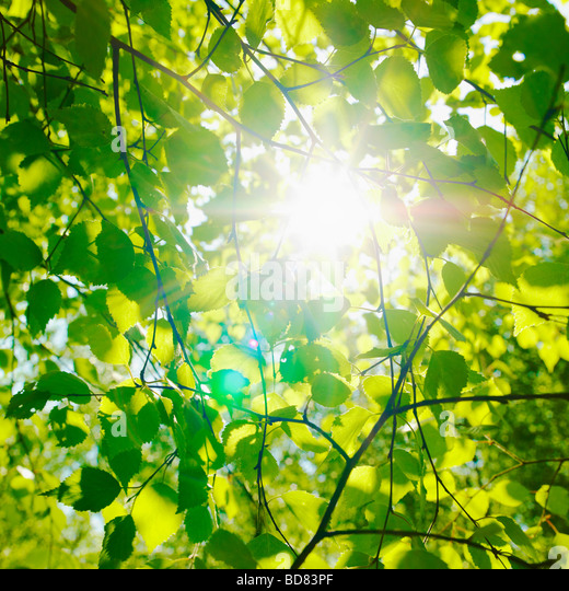 Sun glinting through Beech leaves in spring. ( Fagus Sylvatica ) - Stock Image