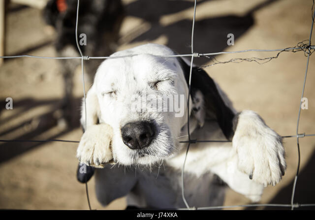 Dog abandoned behind bars, detail of a homeless pet, loneliness and pity - Stock Image