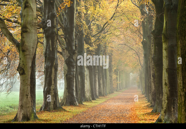 The Netherlands, 's-Graveland, Beech lane, Country road, autumn colors. - Stock Image