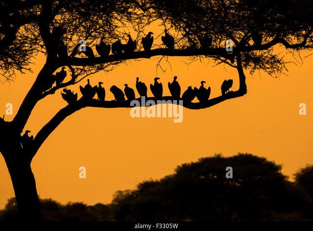Tanzania, Karatu, Tarangire National Park, group of african white-backed vultures (gyps africanus) sitting in acacia - Stock Image