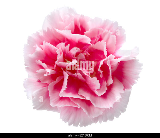 carnation christian singles Enjoy our carnations quotes collection and two bodies ruined by a single sweetness to precipitate a nocturnal carnation.