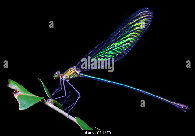 Iridescent Damselfly resting on vegetation at night in tropical rainforest. Masoala Peninsula National Park, Madagascar - Stock Image