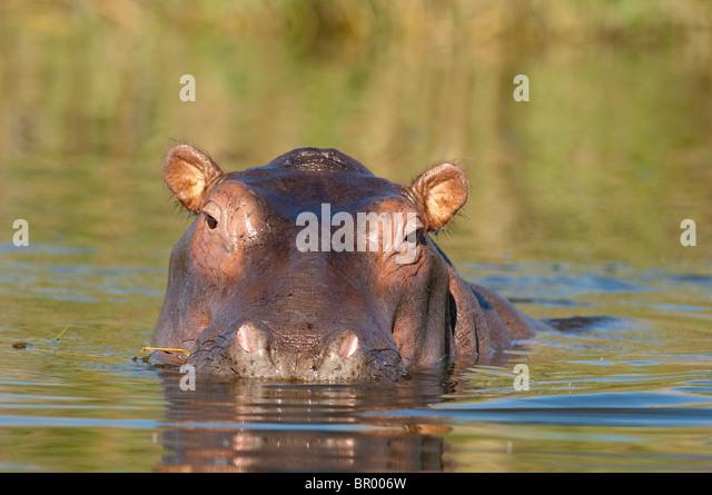 Hippopotamus (Hippopotamus amphibius) in the Shire river, Liwonde National Park, Malawi - Stock-Bilder