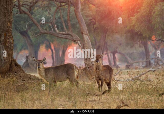 Two female waterbucks (Kobus ellipsiprymnus), Mana Pools National Park, Zimbabwe - Stock Image