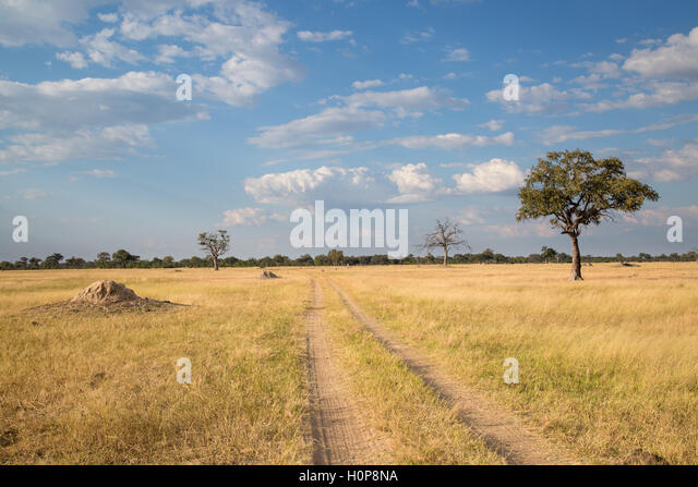 Scenic natural landscape with a lone leadwood tree (Combretum imberbe), and a two track dirt road heading into the - Stock Image