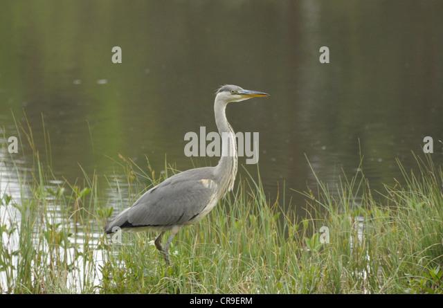 Grey heron, Ardea cinerea, on a bank at Milton Loch, Scotland. - Stock Image