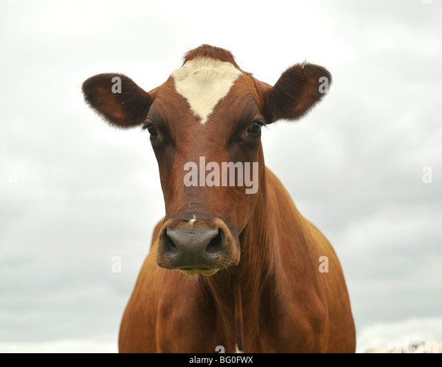 ayreshire cow - Stock Image
