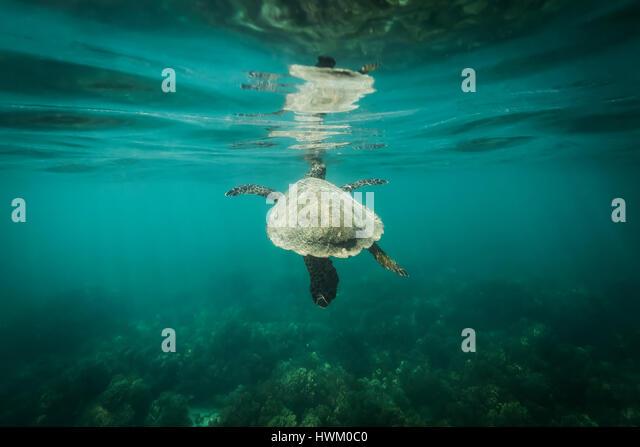 Hawksbill Turtle (Eretmochelys imbricata) - Stock Image