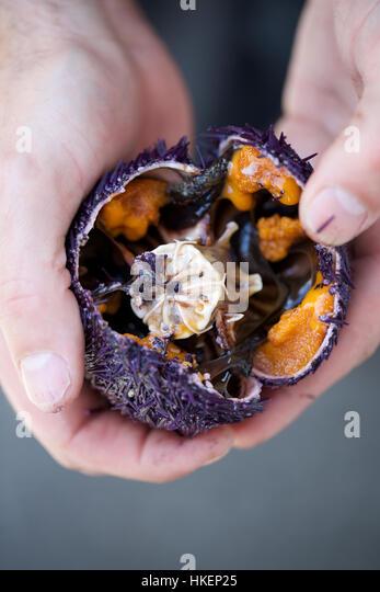 hands holding sea urchin. food, open, sea hedgehog, hands. - Stock Image