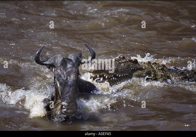 Crocodile attack on wildebeest Mara River Africa - Stock Image