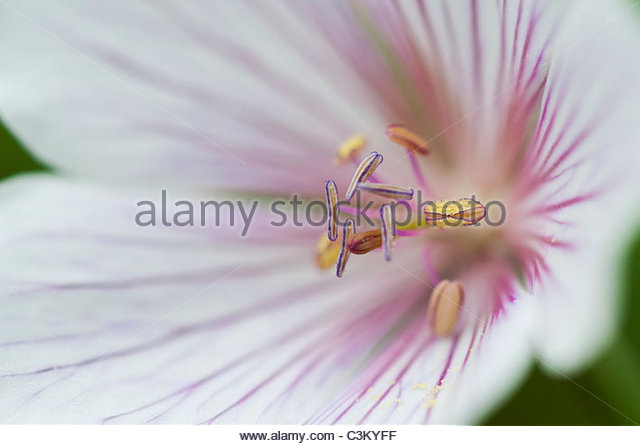 Geranium kashmir white flower. Cranesbill. Close up on Stamen - Stock Image